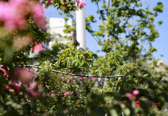 Hà Nội: Hàng phong trổ lá xanh tươi giữa hè nắng gắt - Ảnh 2.