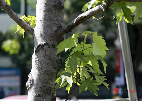 Hà Nội: Hàng phong trổ lá xanh tươi giữa hè nắng gắt - Ảnh 5.