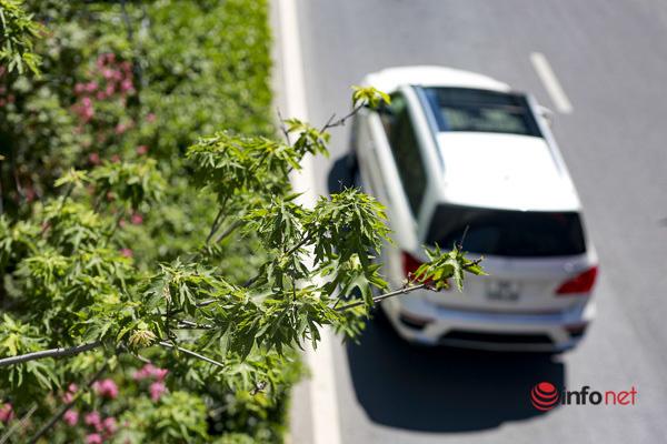 Hà Nội: Hàng phong trổ lá xanh tươi giữa hè nắng gắt - Ảnh 7.