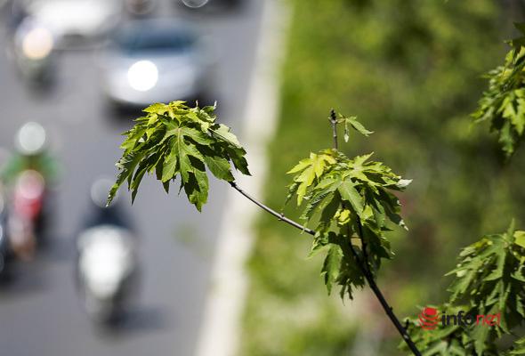 Hà Nội: Hàng phong trổ lá xanh tươi giữa hè nắng gắt - Ảnh 8.