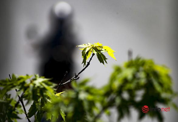 Hà Nội: Hàng phong trổ lá xanh tươi giữa hè nắng gắt - Ảnh 10.