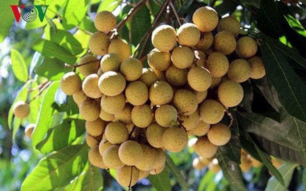 Sơn La có 34 mã số vùng trồng nhãn xuất khẩu sang các nước Mỹ, Úc - Ảnh 1.