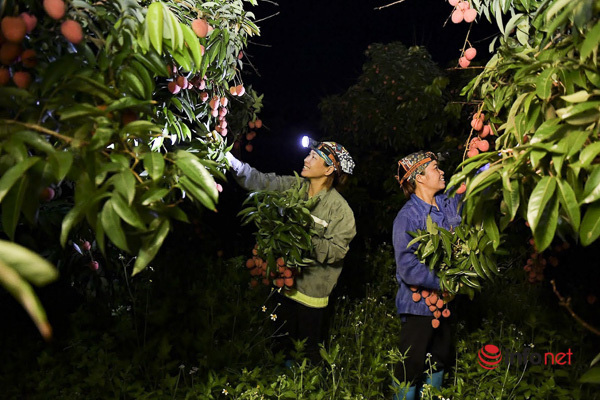 Trúng lớn mùa vải thiều, người dân thắp đèn thu hoạch cả đêm - Ảnh 1.