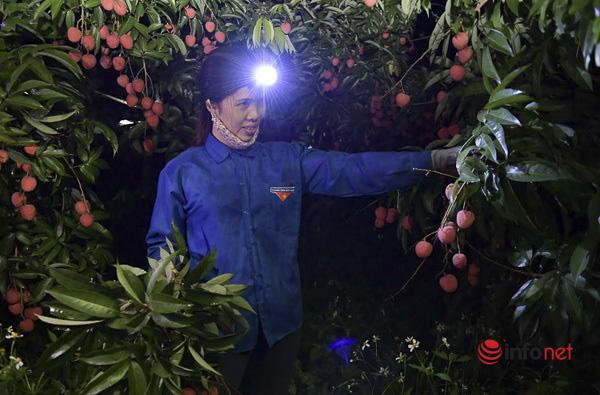 Trúng lớn mùa vải thiều, người dân thắp đèn thu hoạch cả đêm - Ảnh 2.