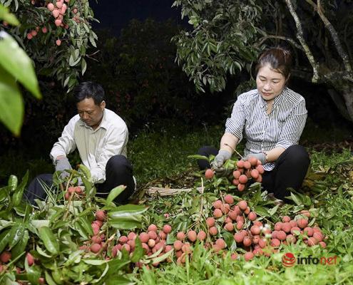 Trúng lớn mùa vải thiều, người dân thắp đèn thu hoạch cả đêm - Ảnh 5.