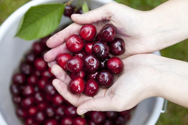 """Cảnh nông dân nước ngoài thu hoạch """"cơn mưa"""" cherry trên cây chỉ trong chớp mắt, sang đến Việt Nam được ăn 1 trái cũng khó - Ảnh 1."""