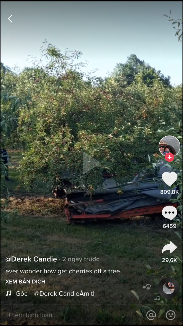 """Cảnh nông dân nước ngoài thu hoạch """"cơn mưa"""" cherry trên cây chỉ trong chớp mắt, sang đến Việt Nam được ăn 1 trái cũng khó - Ảnh 2."""