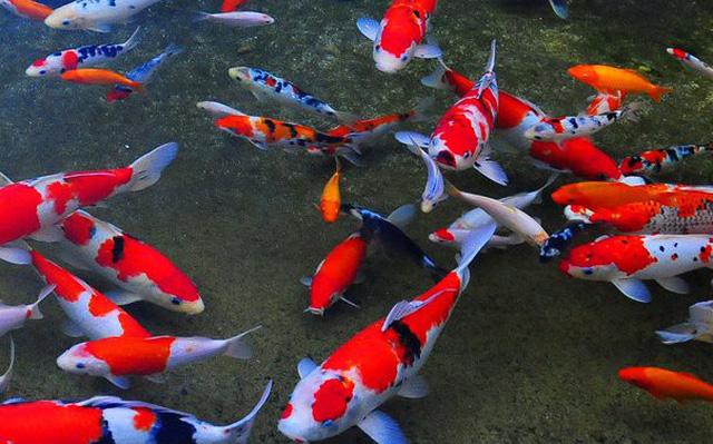Về quê nuôi cá trồng rau thu tiền tỷ (P2): Nuôi cá Koi ngàn đô dưới ao quê không khó, thuần hóa mới khó! - Ảnh 1.