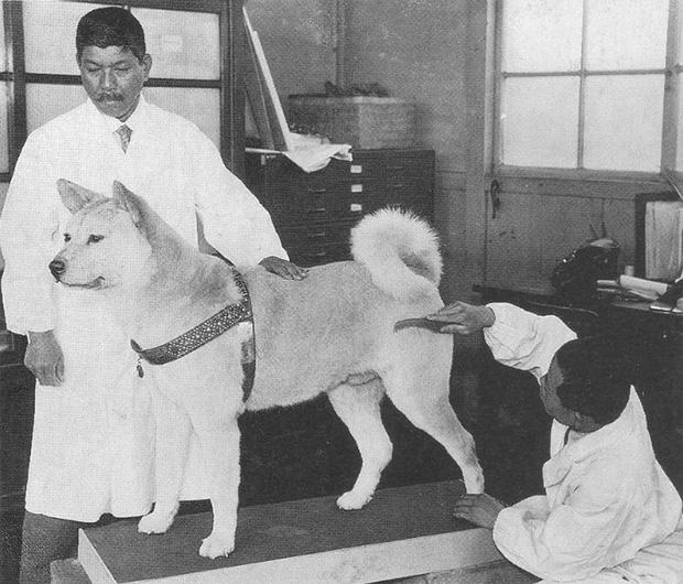 Những bức ảnh hiếm hoi về Hachikō - biểu tượng trung thành của người Nhật khiến người xem cảm tưởng câu chuyện đau lòng ấy đang diễn ra trước mắt - Ảnh 14.