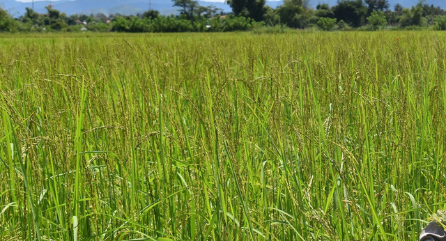 Hàng chục hộ dân ở Kon Tum thất thu vì lúa ma - Ảnh 1.
