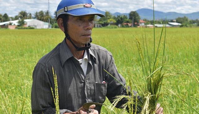 Hàng chục hộ dân ở Kon Tum thất thu vì lúa ma - Ảnh 2.