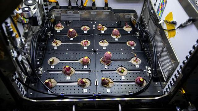 Phi hành gia... thu hoạch củ cải trên trạm ISS - Ảnh 1.