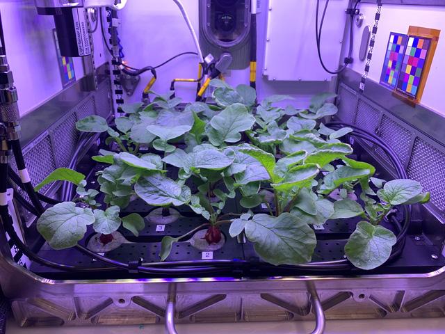 Phi hành gia... thu hoạch củ cải trên trạm ISS - Ảnh 2.