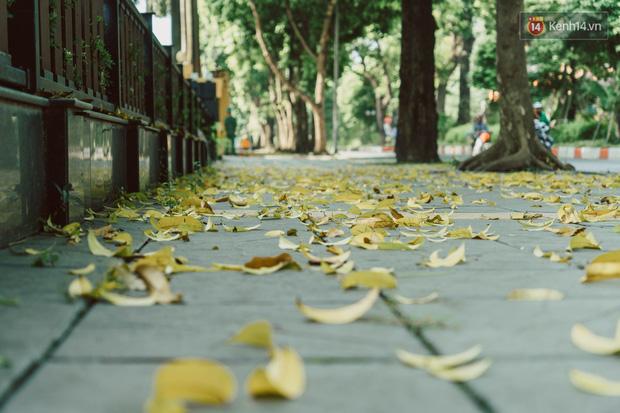 Con đường cây huyền thoại ở Hà Nội lại phủ đầy lá vàng rồi, phải chăng là mùa thu sắp về? - Ảnh 1.