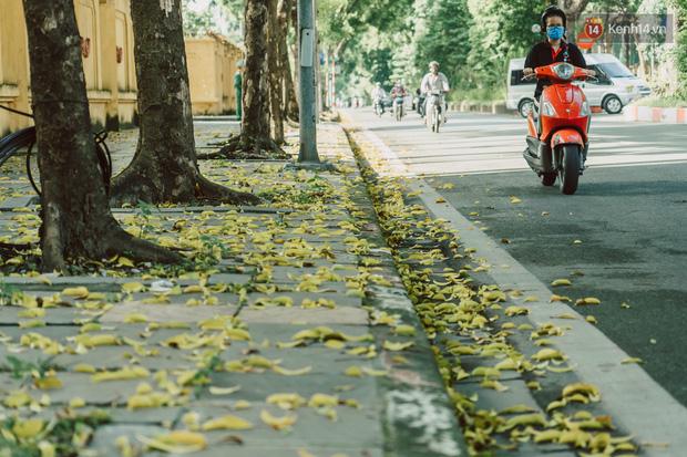 Con đường cây huyền thoại ở Hà Nội lại phủ đầy lá vàng rồi, phải chăng là mùa thu sắp về? - Ảnh 2.