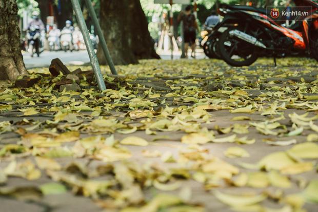 Con đường cây huyền thoại ở Hà Nội lại phủ đầy lá vàng rồi, phải chăng là mùa thu sắp về? - Ảnh 10.