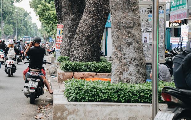 Sau vụ cây xanh bật gốc đè chết người: Vẫn còn nhiều cây đã già cỗi có rễ lộ thiên, nhánh vươn ra mặt đường ở Sài Gòn - Ảnh 13.