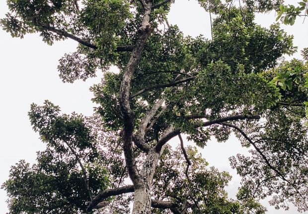 Sau vụ cây xanh bật gốc đè chết người: Vẫn còn nhiều cây đã già cỗi có rễ lộ thiên, nhánh vươn ra mặt đường ở Sài Gòn - Ảnh 6.