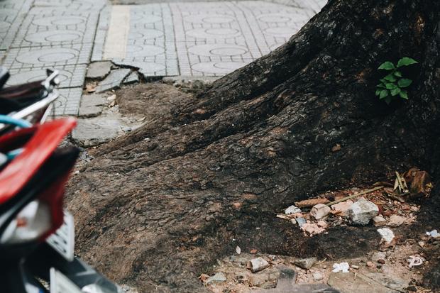 Sau vụ cây xanh bật gốc đè chết người: Vẫn còn nhiều cây đã già cỗi có rễ lộ thiên, nhánh vươn ra mặt đường ở Sài Gòn - Ảnh 10.