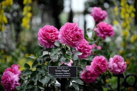 Chuyện ít biết về loài hoa hồng mang tên Piaget: Từ vẻ đẹp thiên nhiên hóa tác phẩm nghệ thuật tôn vinh sự vĩnh cửu - Ảnh 1.