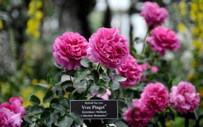 Chuyện ít biết về loài hoa hồng mang tên Piaget: Từ vẻ đẹp thiên nhiên hóa tác phẩm nghệ thuật tôn vinh sự vĩnh cửu