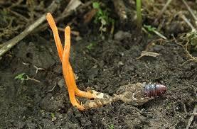 Sự thật về đông trùng hạ thảo: Không phải cây, chẳng phải con, dược chất nằm ở bộ phận không ai nghĩ đến! - Ảnh 4.