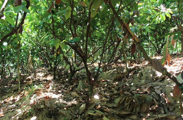 Tiến sĩ về làm nông dân: Hồi sinh đồi đá trơ trọi nhờ cỏ dại, trồng cacao không hoá chất tạo dòng socola đắt nhất Việt Nam - Ảnh 6.