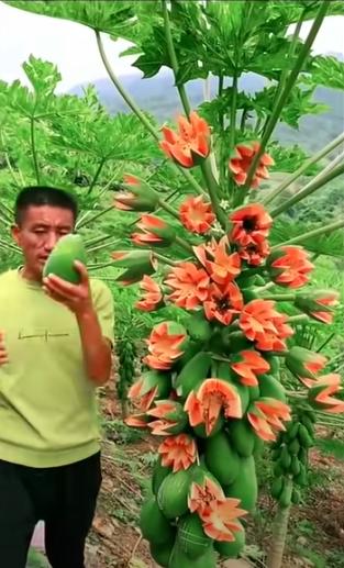 Lão nông khoe cây đu đủ kỳ quái trái bung nở như hoa thu hút 2,6 triệu lượt xem, dân mạng rình mò phát hiện sự thật không cãi được - Ảnh 3.