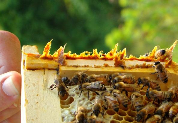 Không phải mật ong, đây mới là thứ được lấy ra từ tổ ong vừa giúp trị bệnh lại làm đẹp vô cùng hiệu quả mà nhiều người không hay biết - Ảnh 5.