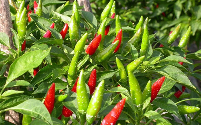 Loại quả có khắp vườn nhà nông Việt, ra chợ xin vài quả còn được cho không, ở chỗ này rao bán tận 670.000 đồng/kg - Ảnh 4.