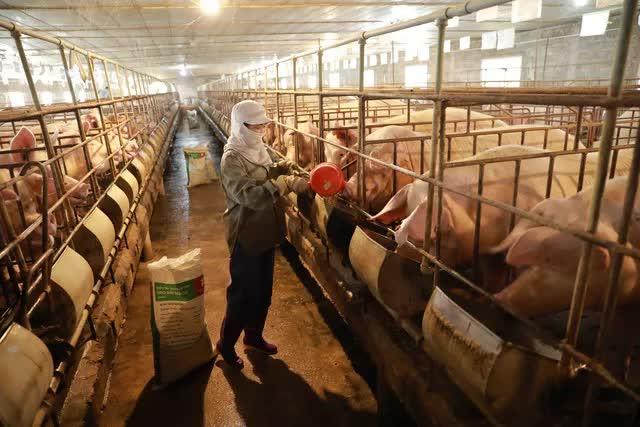 Giá lợn hơi có nơi dưới 40.000 đồng/kg - Ảnh 1.