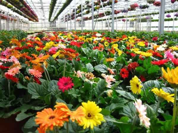 Những loài hoa trưng Tết mang vượng khí rước tài lộc vào nhà - Ảnh 5.