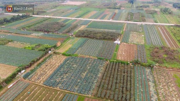 Nước mắt sau Tết: Người nông dân nhổ bỏ cải bắp, su hào vì ế không bán được - Ảnh 1.