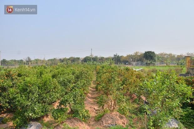 Ảnh: Hàng nghìn cây quất bonsai bạc triệu vẫn nằm im ở vườn, nông dân chẳng buồn ra đồng vì ngồi trên đống nợ - Ảnh 1.