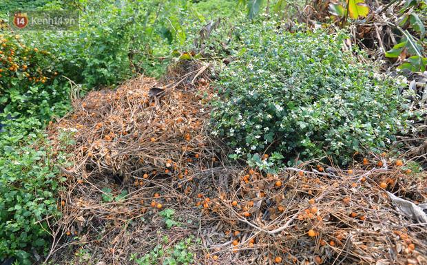 Ảnh: Hàng nghìn cây quất bonsai bạc triệu vẫn nằm im ở vườn, nông dân chẳng buồn ra đồng vì ngồi trên đống nợ - Ảnh 6.