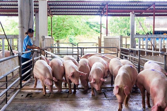 Việt Nam nhập gần 1.400 lợn cụ kỵ trong năm 2020 - Ảnh 1.