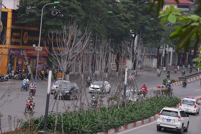 Hà Nội: Hàng cây phong lá đỏ trơ trụi như củi khô - Ảnh 1.