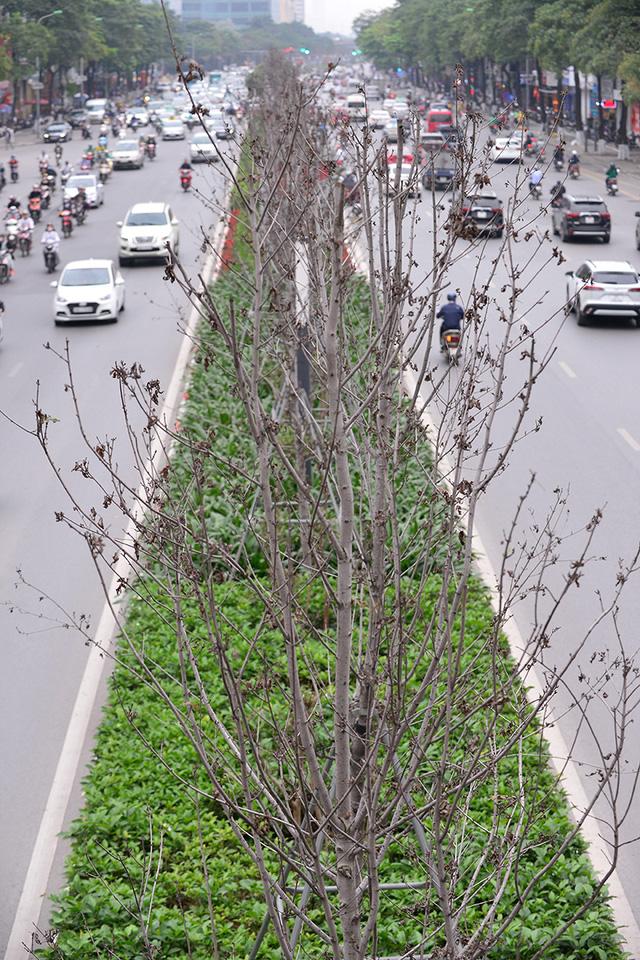 Hà Nội: Hàng cây phong lá đỏ trơ trụi như củi khô - Ảnh 2.