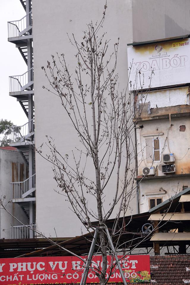 Hà Nội: Hàng cây phong lá đỏ trơ trụi như củi khô - Ảnh 8.