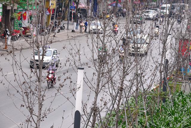 Hà Nội: Hàng cây phong lá đỏ trơ trụi như củi khô - Ảnh 9.