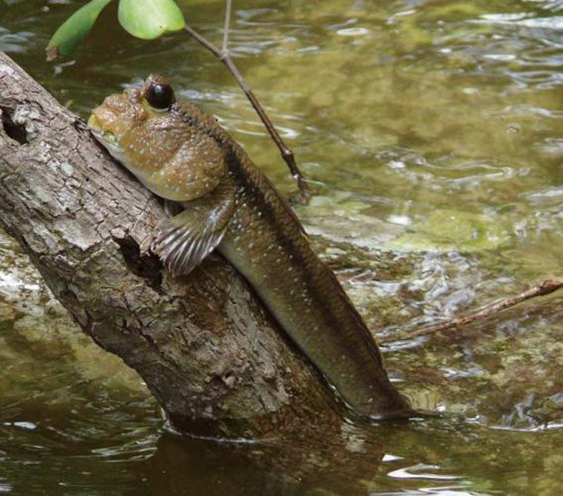 """Việt Nam có 5 loại cá được xem là đặc sản nức tiếng, nhìn thì """"sợ bỏ chạy"""" nhưng ăn rồi mới thấy cực ngon! - Ảnh 13."""