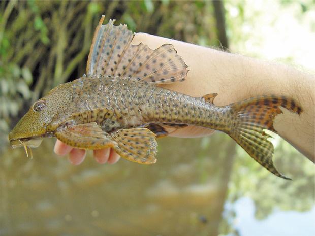 """Việt Nam có 5 loại cá được xem là đặc sản nức tiếng, nhìn thì """"sợ bỏ chạy"""" nhưng ăn rồi mới thấy cực ngon! - Ảnh 4."""