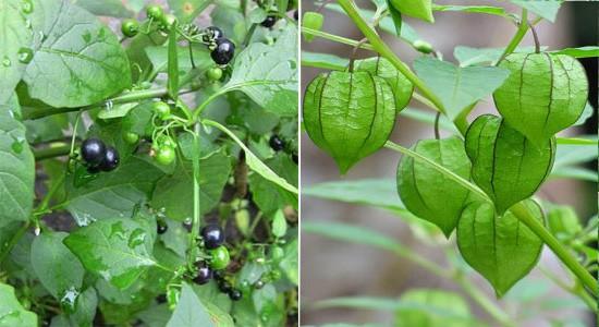 Loại quả dại đang hot tại Việt Nam, giá 400.000 đồng/kg: Nếu không biết phân biệt dễ nhầm với loại cây có độc - Ảnh 1.