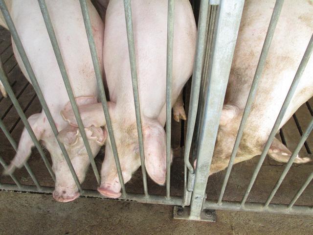 Giá lợn hơi giảm nhẹ ở một số địa phương - Ảnh 1.