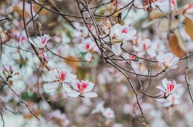 Hoa ban nở bạt ngàn ở Thủ đô: Hóa ra loại hoa này còn có thể làm thuốc chữa bệnh cực hay! - Ảnh 1.