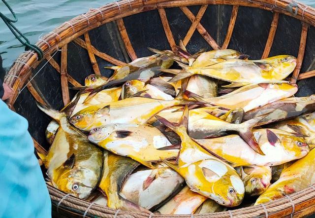 Trúng đậm mẻ cá chim vàng, ngư dân thu hơn nửa tỷ đồng  - Ảnh 1.