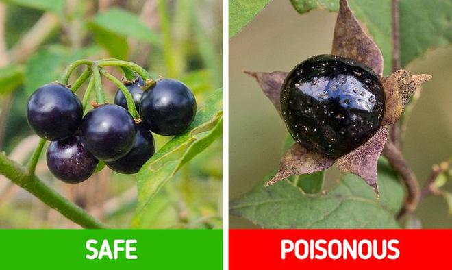 9 loài thực vật luôn khiến con người nhầm lẫn tai hại: Loại thì ăn được, loại lại có độc và cần né xa - Ảnh 3.