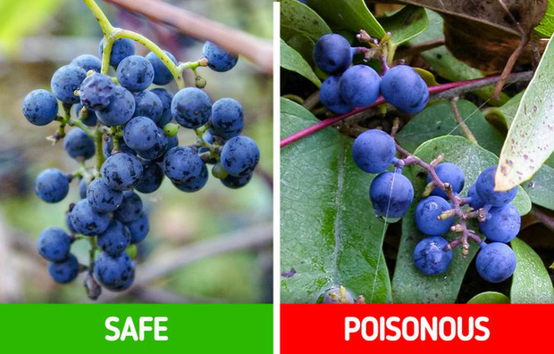 9 loài thực vật luôn khiến con người nhầm lẫn tai hại: Loại thì ăn được, loại lại có độc và cần né xa - Ảnh 1.