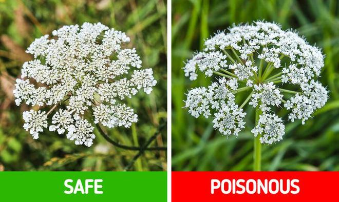 9 loài thực vật luôn khiến con người nhầm lẫn tai hại: Loại thì ăn được, loại lại có độc và cần né xa - Ảnh 12.