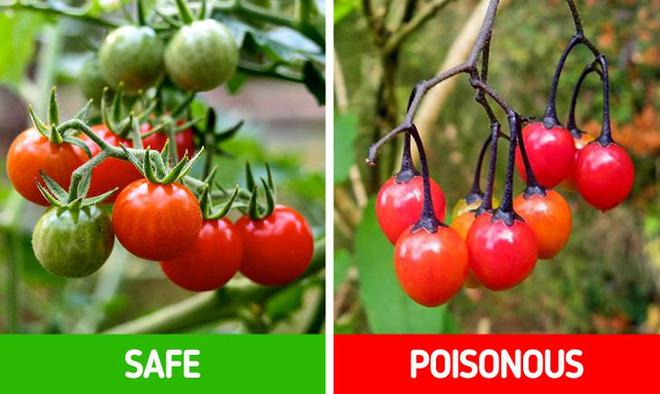 9 loài thực vật luôn khiến con người nhầm lẫn tai hại: Loại thì ăn được, loại lại có độc và cần né xa - Ảnh 13.